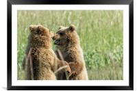 Brown Bear Cubs - Face Off, Framed Mounted Print