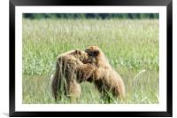 Brown Bear Cubs - Wrestling Match, Framed Mounted Print
