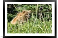 Bear Cub with Wet Face, Framed Mounted Print