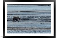 Brown Bear Looking For Clams, Framed Mounted Print