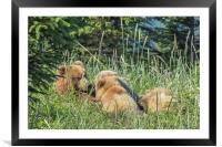 Triplet Bear Cubs Nursing, No. 1, Framed Mounted Print