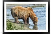 Thirsty Big Brown Male Bear, Framed Mounted Print