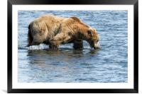 Brown Bear Going for a Dip, Framed Mounted Print