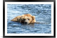 Brown Bear Cooling Off, Framed Mounted Print