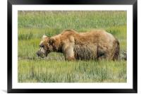Brown Bear Grazing, Framed Mounted Print