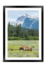 Male Brown Bear at Lake Clark NP, Framed Mounted Print