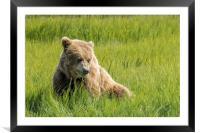 Filling Up on Sedge Grass, Framed Mounted Print