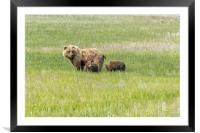 Mother Brown Bear With Her Two Cubs, No. 1, Framed Mounted Print