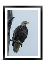 Drenched Eagle, Framed Mounted Print