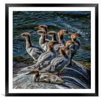 A Bouquet of Mergansers, Framed Mounted Print