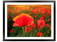Bright Red Poppy in the Sun, Framed Mounted Print