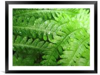 Green Bracken with  Raindrops, Framed Mounted Print