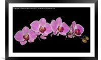 Purple Phalaenopsis Orchid Arc, Framed Mounted Print