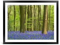 Bluebell Woodland in Hertfordshire, Framed Mounted Print