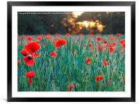 Poppies in Green Corn, Framed Mounted Print