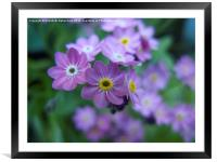 Forget me Not, Framed Mounted Print
