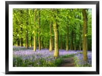 Path through Bluebell Wood., Framed Mounted Print
