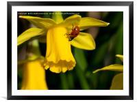 "7 spot Ladybird on Daffodil ""Tete a tete""., Framed Mounted Print"