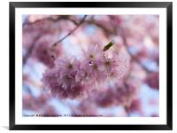 Pretty Pastel Pink Prunus Blossom., Framed Mounted Print