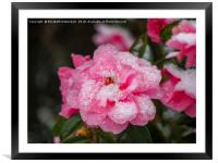 """Pink Camellia, """"Donation"""",  decorated with snow., Framed Mounted Print"""