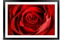 Tainted Rose, Framed Mounted Print