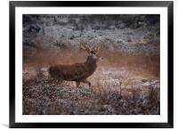 Wild Red Deer Stag, Framed Mounted Print