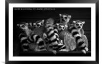 Gang Of Ring-Tailed Lemurs, Framed Mounted Print