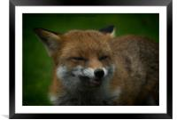 Wild Red Fox Showing Its Teeth, Framed Mounted Print