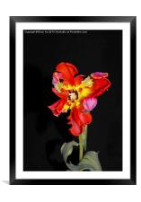 Beautiful Parrot Tulip, Framed Mounted Print