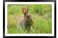 Common brown rabbit, Framed Mounted Print