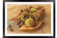 Sweet Chestnut seed pods, Framed Mounted Print