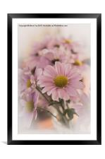 Chrysanthermums in vase, Framed Mounted Print