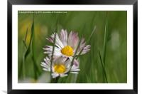 Daisy in long grass, Framed Mounted Print