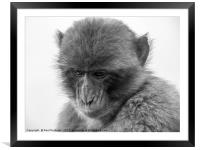 Barbary Macaque in Gibraltar, Framed Mounted Print
