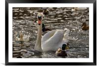 Swan on the River Neckar, Tübingen, South Germany, Framed Mounted Print