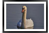 Swan in the sunlight, Framed Mounted Print