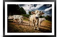 Cows, Framed Mounted Print