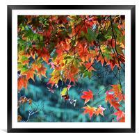 Rainy Autumn Acer at Westonbirt, Framed Mounted Print