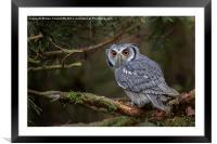 White-faced Scops Owl , Framed Mounted Print