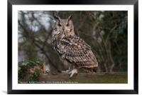 Eurasian eagle owl, Framed Mounted Print