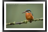 Female kingfisher, Framed Mounted Print