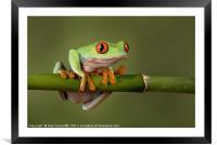 Tree frog, Framed Mounted Print