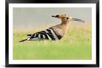 A Colourful Hoopoe, Framed Mounted Print