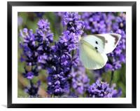 Cabbage White Among Lavender, Framed Mounted Print