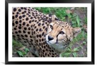 Beautiful Cheetah, Framed Mounted Print