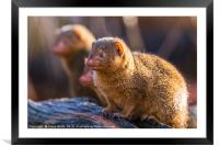 Common dwarf mongoose, Framed Mounted Print