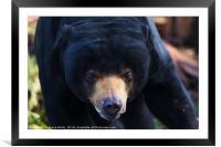 Malayan sun bear wonders towards the camera, Framed Mounted Print