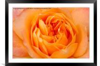 Beautiful Yellow Peace Rose , Framed Mounted Print