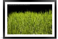 bright grass leaves grow on black background, Framed Mounted Print