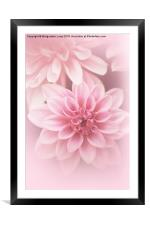 Beautiful, artistic pink dahlia, Framed Mounted Print